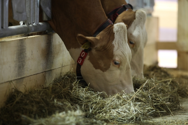 Kühe, über dts Nachrichtenagentur