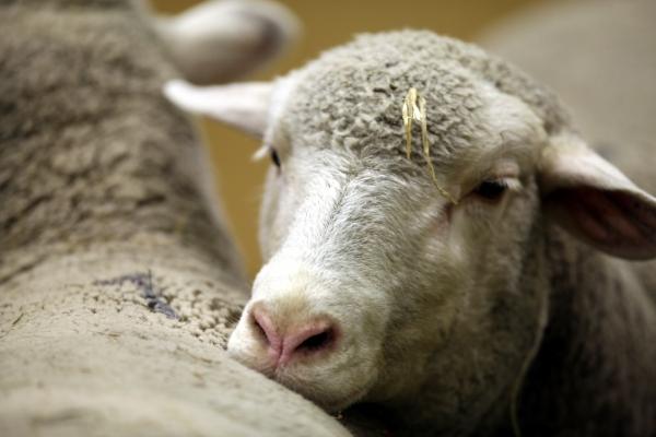 Schaf, über dts Nachrichtenagentur